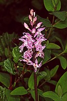 Dactylorhiza maculata, Geflecktes Knabenkraut