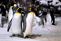 Emperor Penguins Hanging Out Together. Note Shot in High ISO Due to Low Light