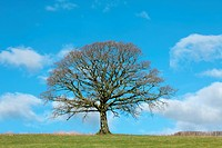 Oak tree in winter in a field with a hedgerow to one side, against a blue sky with clouds.