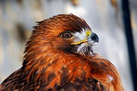 Portrait of a red_tailed hawk
