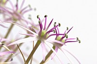 Allium christophii, Allium, Purple subject, White background.