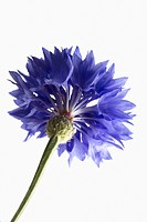 Centaurea cyanus, Cornflower, Blue subject, White background.