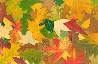 Multicolored fallen leaf background