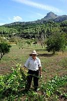 Agriculture in the valley, La Vall d'en Marc outside Pollensa, Pollenca, Serra de Tramuntana, Majorca, Mallorca, Balearic Islands, Mediterranean, Spai...