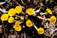 Foalfoot or coltsfoot yellow spring nature flower