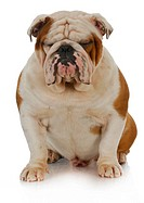 english bulldog sitting with eyes closed on white background _ 2 years old