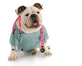 veterinary care_ english bulldog doctor with stethoscope