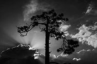 Yosemite Park tree