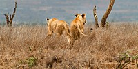 Panorama view of two lionesses, walking away from viewer, stalking prey in long grass, framed by dead tree stumps on each side, Lewa Downs, Kenya, Eas...