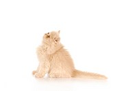 adorable persian kitten sitting looking up with reflection on white background