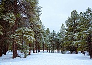Ice covered pines in the park in Flagstaff, Arizona after ice storm