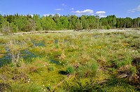 Silted bog pond with flowering Hare´s_tail Cottongrass, Tussock Cottongrass or Sheathed Cottonsedge Eriophorum vaginatum, Grundbeckenmoor near Rosenhe...