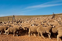 Sheep herd on a farm in Ouplaas, Western Cape, South Africa