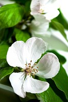 white quince blossom with green leaves