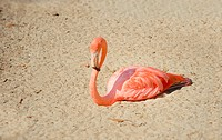 Flamingo is resting on the sand in the sun.