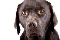 Headshot of a Cute Looking Labrador Puppy