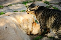 Female tabby cat licking a sleeping English Golden Retriever named.