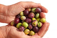Cupped hands full of freshly harvested ripe green and black olives isolated on white.