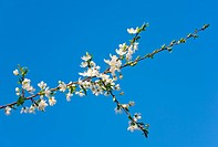 Blossoming twig of cherry_tree on blossom tree and sky background