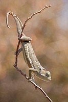 Flap-necked Chameleon (Chamaeleo dilepis), Khamai Reptile Park, Hoedspruit, Greater Kruger National Park, Limpopo Province, South Africa, Africa