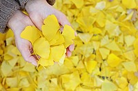 Woman holding yellow ginkgo leaves.