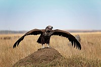 Lappet_faced Vulture Torgos tracheliotus flying up, Masai Mara, Kenya, Africa