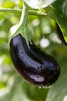 A wet aubergine on the plant