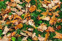 Background from yellow oaken leaf on green grass. Autumn