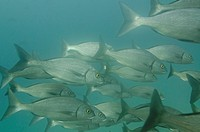 School of fish swimming underwater, Santa Cruz Island, Galapagos Islands, Ecuador