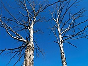 two dry birch against blue sky horizontal