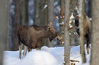 Two moose Alces alces in forest in winter