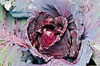 Head of purple cabbage growing in a garden, wet from morning dew.