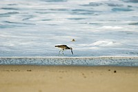 Sand Piper bird on the shore line
