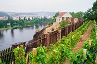 Small vineyard on a hill in Prague, Czech Republic