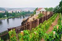 Small vineyard on a hill in Prague, Czech Republic