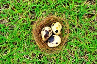 Three quail´s eggs in a nest in a field seen from above