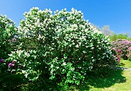 Bunch of white lilac flower in sunny spring day in front of blue sky