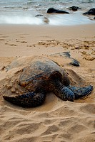Endangered sea turtle sleeping on a beach on northern Oahu, Hawaii.