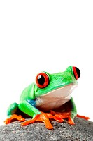 cute frog sitting on a rock isolated on white _ a red_eyed tree frog agalychnis callidryas