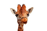 Giraffe looking into camera over white background