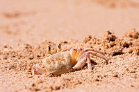 Crab burrowing a hole in the beach sand