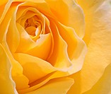 Macro close up of stunning fresh spring rose flower
