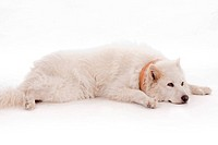 White dog relaxing on the floor wearing brown muffler scarf on his neck, studio shot