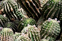 Thickets of cactuses in nature. A green natural background