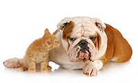 dog and cat _ english bulldog and young kitten together on white background
