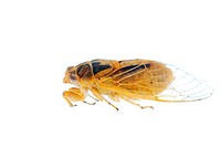tiny insect yellow cicada macro isolated on white background