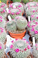 Small cactus plants in a market during a sunny day