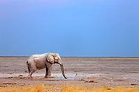 Elephant drinking at waterhole, Loxodonta Africana, Etosha