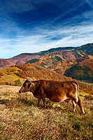 Cow grazing with a colorful alpine landscape in background