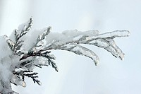 Juniper branch covered in ice and snow , Macro shallow depth of field